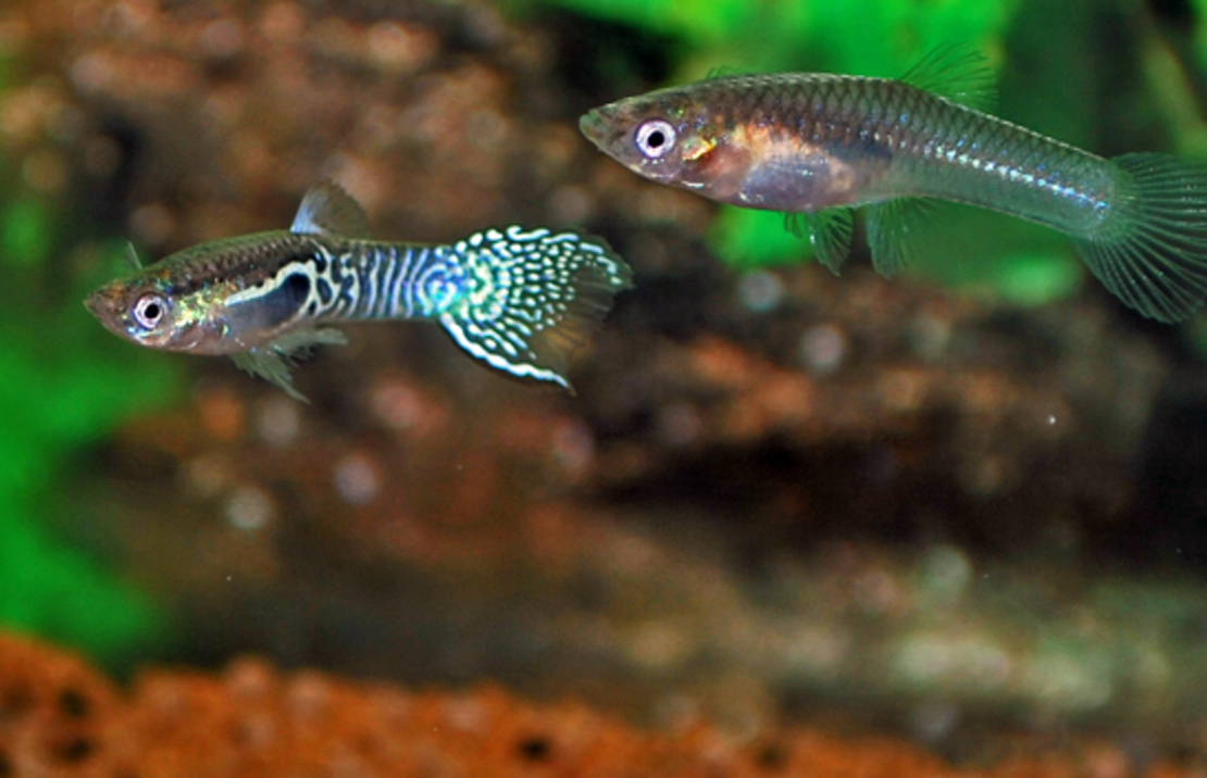 Endler's Guppy Blue Tiger Male/Female M