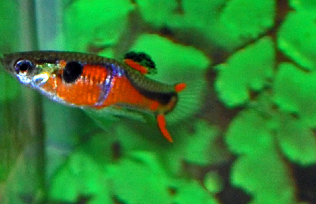 Endler's Guppy Red Chest Male/Female M