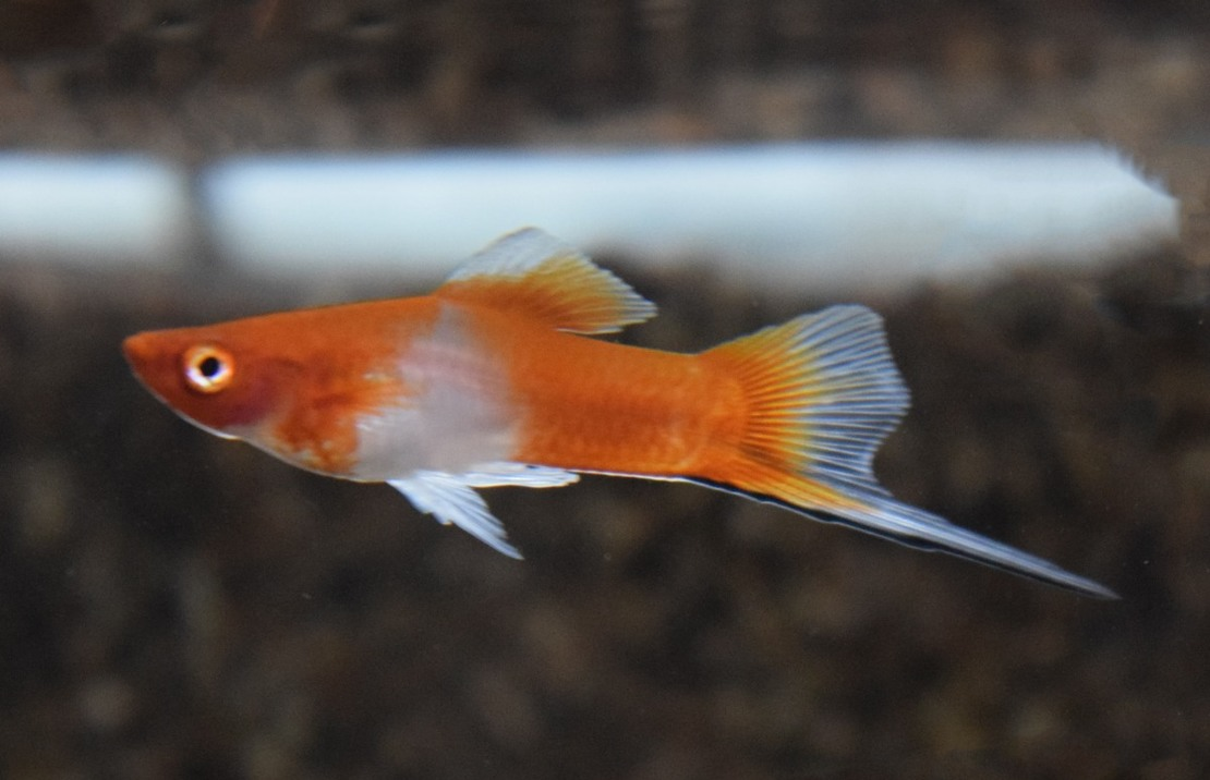 Swordtail Red/White M