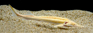"Acipenser ruthenus ""Albino"" 12-14"""