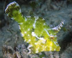 Aiptasia Eating Filefish M