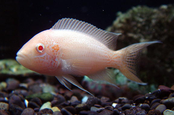 Albino Princess of Burundi Cichlid M
