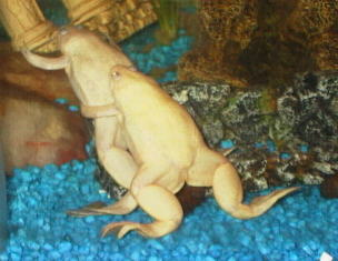 Albino African Claw Frog M