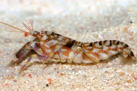 Tiger Pistol Shrimp L