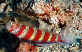 Red Banded Goby M