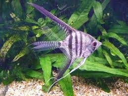 Angelfish - Zebra Diamond SM