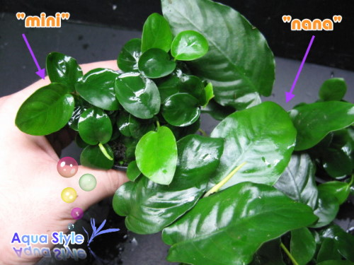 "Anubias nana mini ""Paxing\"""