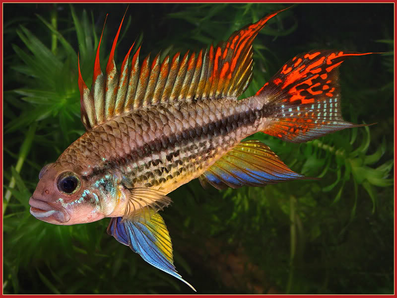"Cockatoo ""Sunburst"" Dwarf Cichlid ML"