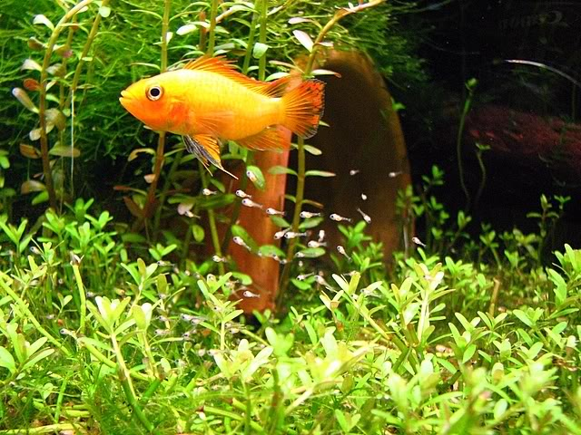 "Cockatoo ""Gold Red"" Dwarf Cichlid ML"