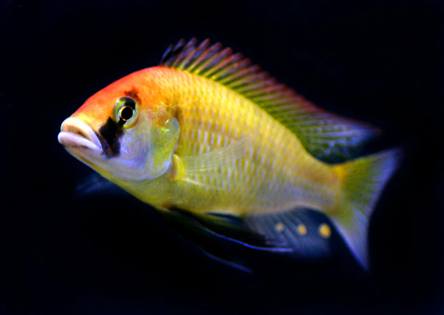 Eastern Happy Cichlid M