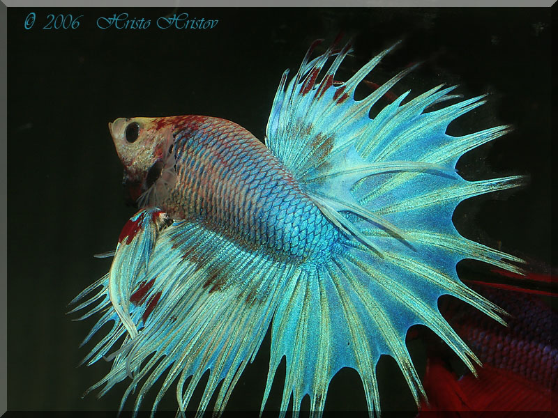 Crown Tail Fighting Fish L - male