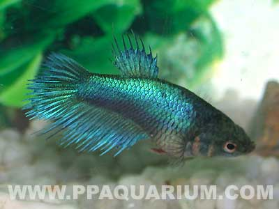 Crown Tail Fighting Fish L - female