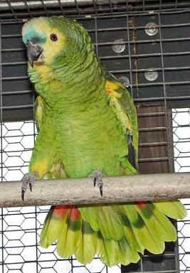 Blue-fronted Amazon (Fífill) - SELDUR!