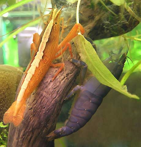 Bamboo Shrimp ML
