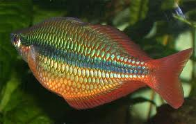 Banded Rainbowfish L