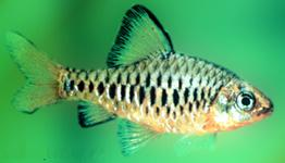 Checker Barb ML