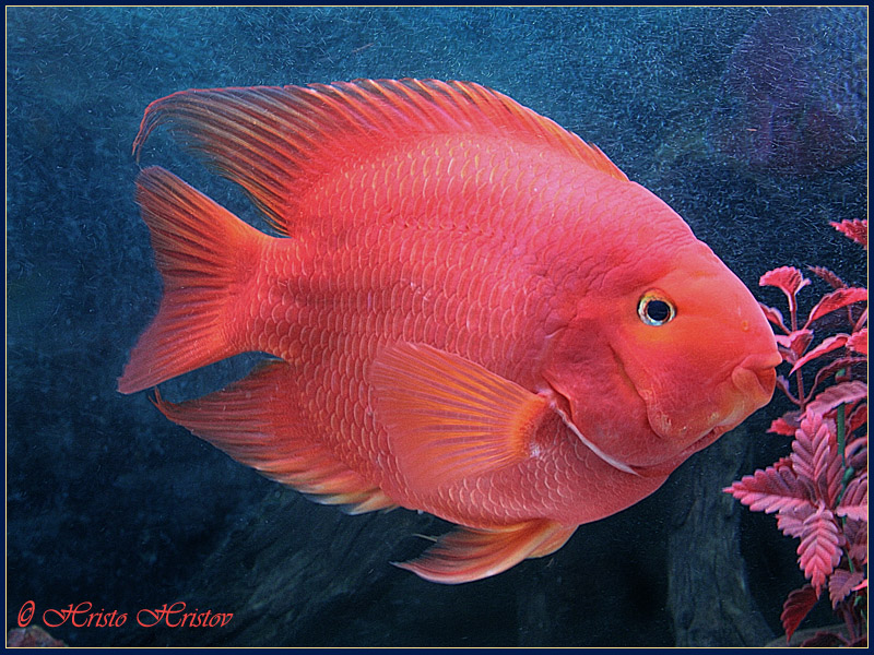 Blood Parrot Cichlid L