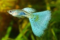 Blue Cobra Fantail Guppy ML