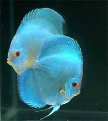 Blue Diamond Discus 3""