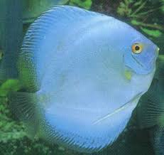 Blue Diamond Discus 2,5""