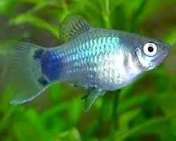 Blue Mickey Mouse Platy ML