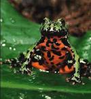 Fire-bellied Toad ML