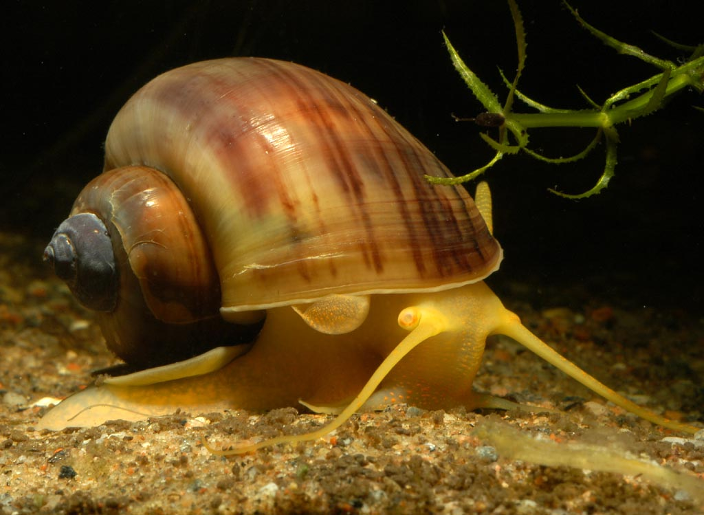Brown Apple Snail L