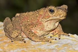 Asian Red Giant Toad M