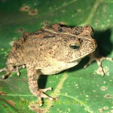 Cameroon Toad S