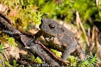 African Toad M
