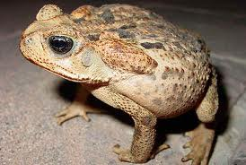 Cane Toad L