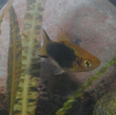 Bumble Bee Platy M
