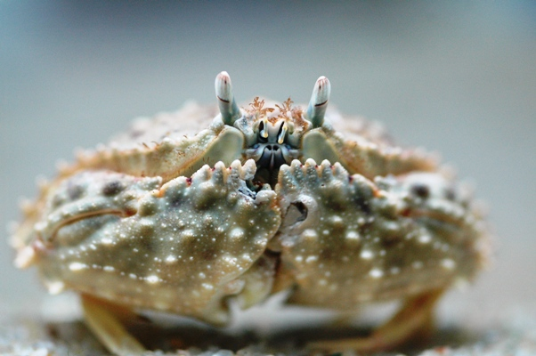 Calico Box Crab M