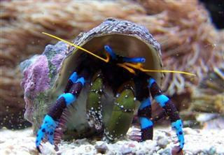 Hermit Crab - Metallic Blue Leg M