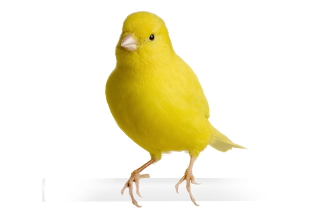 Canary - Yellow (ungar)