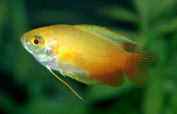 Gold Red Tail Honey Gourami ML