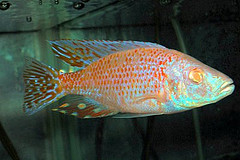 Dimidiochromis compressiceps sp. Red S
