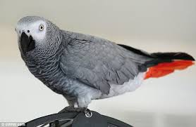 Congo African Grey (�na) - SELD!