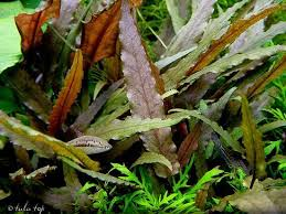 Cryptocoryne petchii 'Pink'