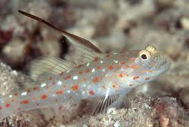 Hi Fin Spangle Goby M