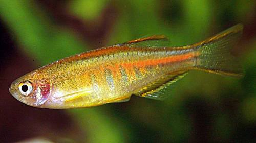 Glowlight Danio M