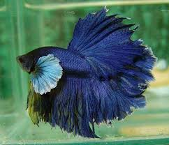 Dumbo Fighting Fish L - male