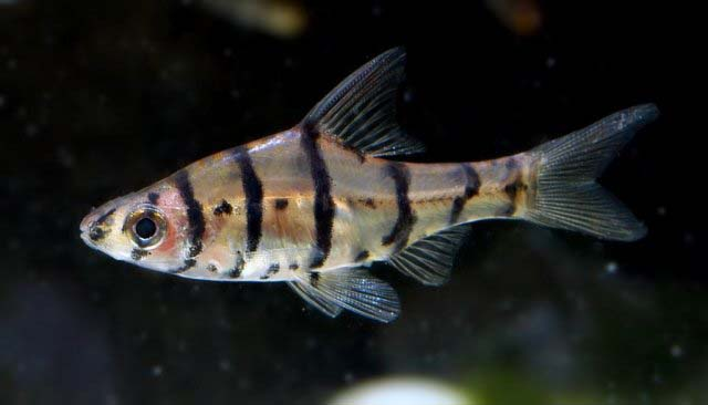 Eight Banded Barb M
