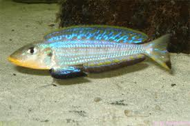 Black-chinned Xenotilapia Cichlid M