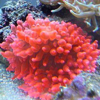 Bubble Anemone - Red S