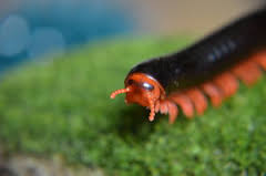 Tanzanian Red-legged Millipede L