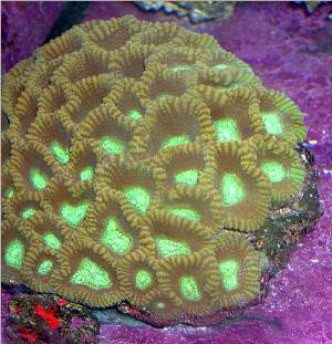 Pineapple Hard Coral L