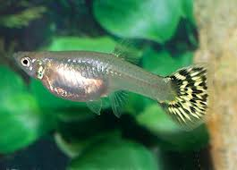 Fantail Guppy - Female ML