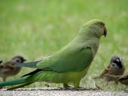Green Ring-necket Parakeet (Gréta) - SELD!