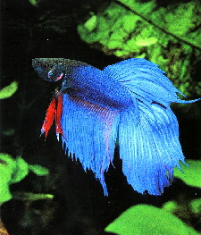 Siamese Fighting Fish L - male